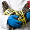 influenza_aviar