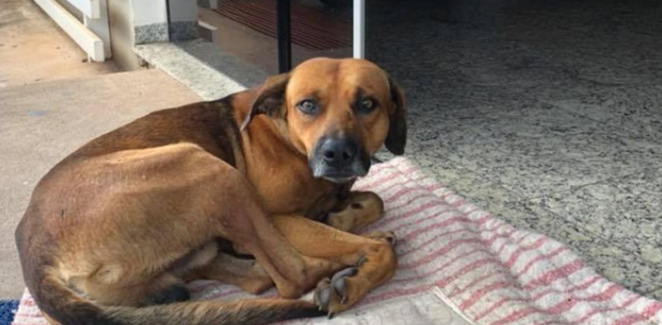 perro_brasil