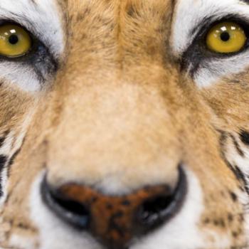 tigre_alemania