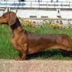 perro_salchicha
